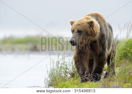 Grizzly Bear (ursus Arctos Horribilis) Fishing For Salmon Along Shoreline, Katmai National Park, Usa