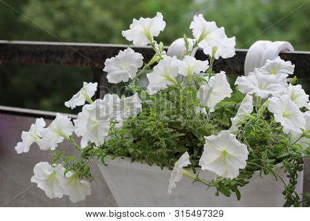 Beautiful Colorful Of Freshness Petunias Flower In White Blossom And Growth In Pot Near Window Outsi