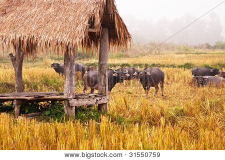 Mammal animal Thai buffalo in grass field poster