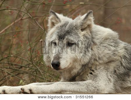 A Gray Wolf resting