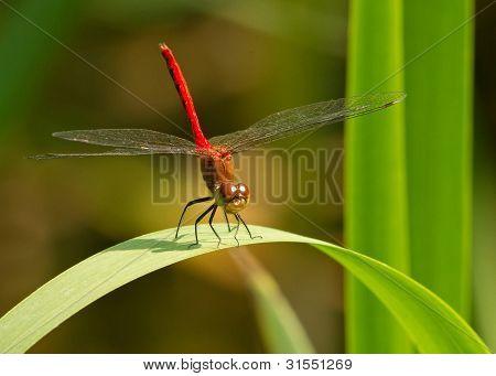 Dragon Fly Resting On A Leaf