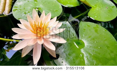 A Beautiful Orange Lotus In Graden. Close Up Lily Water Flower In Pond, Natural Background.