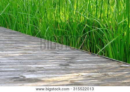 Water Grass Growing In A Swamp With Warm Light And Old Wooden Planks And Of A Pathway