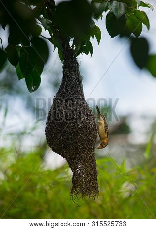 Baya Weaver, Ploceus Philippinus Bird Weaving It's Nest