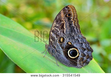 Exotic Yellow-edged Giant Owl Butterfly Caligo On Leaf In Amazonian Tropical Forest