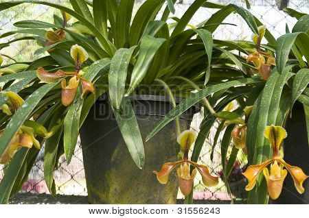 Rare Orchid In Thiland