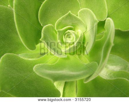 Aeonium Virgineum Webb - Succulent