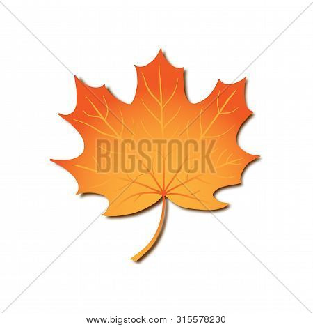Autumn Maple Leaf, Vector Realistic Orange Leaf Isolated In White Background For Seasonal Design, Fo