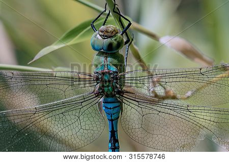 Close Up Of A Blue Emporer Drangonfly (anax Imperator)