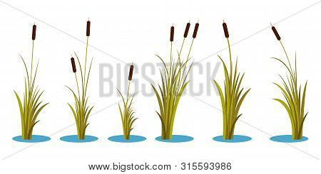 Set Of Variety Autumn Reeds With Leaves On Stem. Reed Plant. Flat Vector Illustration Isolated On Wh