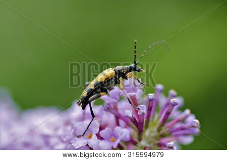 Rutpela Maculata, Longhorn Beetle On Buddleia Flowers