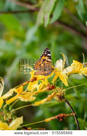 Butterfly Vanessa Cardui Sits On A Yellow Flower And Drinks Nectar With Its Proboscis. Background Wi