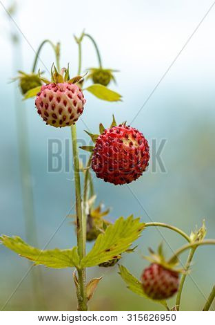 Berry of ripe strawberries close up. Nature of Norway