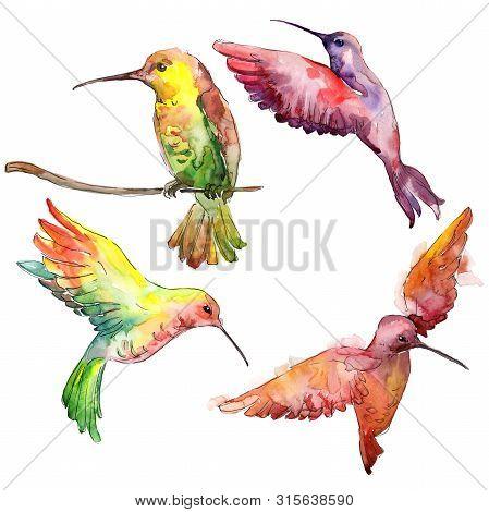 Sky Bird Colibri In A Wildlife. Watercolor Background Illustration Set. Isolated Hummingbird Illustr