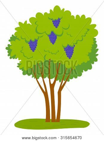 Grapes Growing On Green Bunch With Fresh Vibrant Leaves. Vector Juicy Fruit, Winemaking And Viticult
