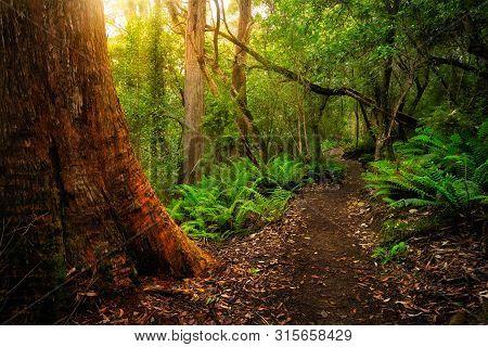 Beautiful Path In Lush Tropical Rainforest Jungle In Tasman Peninsula, Tasmania, Australia. The Anci