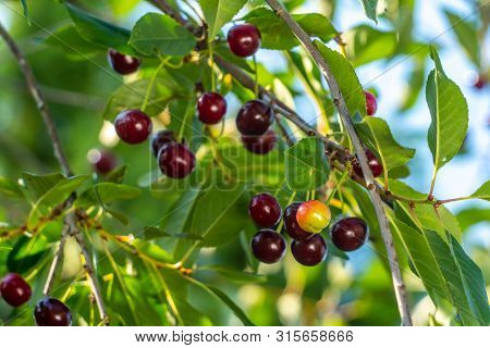 Cherries On A Tree Ready To Harvest, Close Up