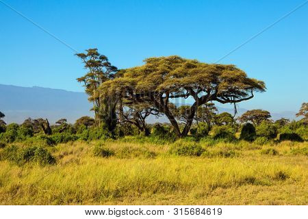 Interesting trip to Africa. The savanna at the foot of Mount Kilimanjaro. Savanna with bushes and desert acacies. The concept of exotic, ecological and photo tourism