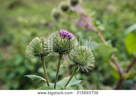 Closeup Of A Budding And Purple Flowering Greater Burdock Or Arctium Lappa Plant In Its Own Natural