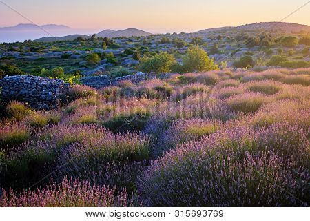 Lavender Field On Hvar Island In Sunshine, Croatia