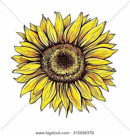 Sunflower Hand Drawn Vector Illustration. Beautiful Yellow Flower Bud, Blooming Wildflower. Agricult