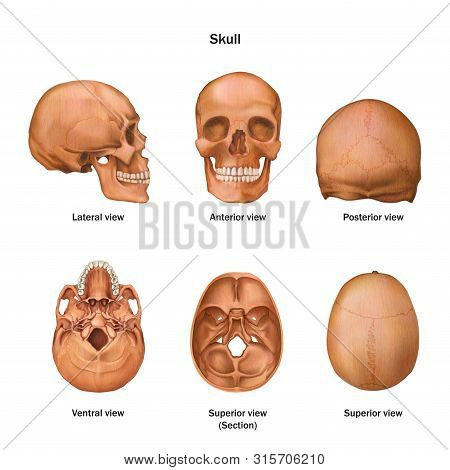 Snn Human Skull. Lateral, Anterior, Posterior, Ventral And Superior View. Human Anatomy. Vector Illu