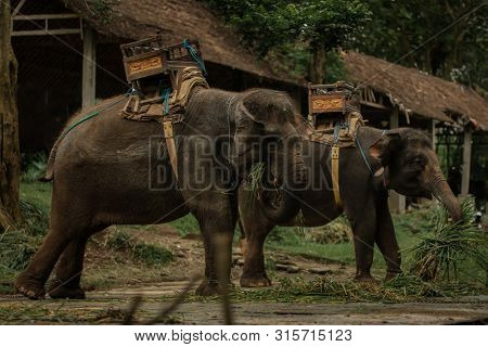 Herd of tame elephants. Elephants with sitting on a back for transportation of passengers are having lunch poster