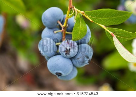 Garden Blueberries Delicious, Healthy Berry Fruit. Vaccinium Corymbosum, High Bush Blueberry. Blue R