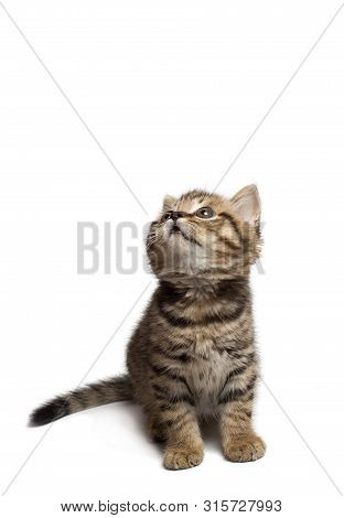 A Cute White Gray Tabby Cat Looking Up Isolated On A White Background.