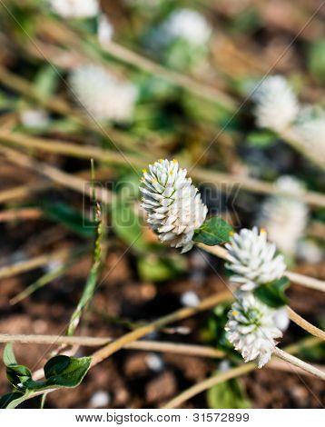 Amaranthus Flower Closeup Detail