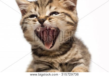 Shocked Or Screaming Tabby Cat. Kittens Open Mouth.