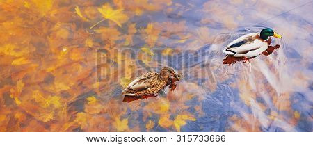 Two Mallard Ducks On A Water In Dark Pond With Floating Autumn Or Fall Leaves, Top View. Beautiful F