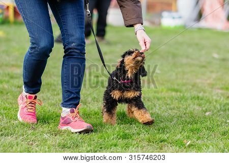 Woman Trains With A Young Poodle