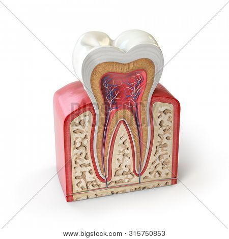 Dental tooth anatomy. Cross section of human tooth isolated on white. 3d illustration