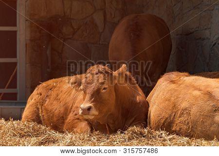 Red Holstein Friesian Cow On Livestock Dairy Farm, Domestic Animals Husbandry