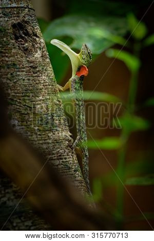 Barred Gliding Lizard - Draco Taeniopterus - Draco Is A Genus Of Agamid Lizards That Are Also Known