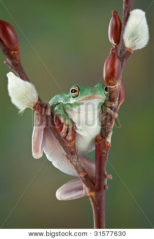 Tree Frog On Pussy Willow
