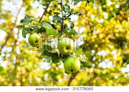 Ripe Apples On Tree Branch In Orchard At Summer Sunset With Blurred Background