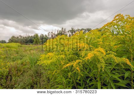Budding And Flowering Goldenrod In Its Own Natural Habitat. The Yellow Blooming Goldenrod Or Solidag