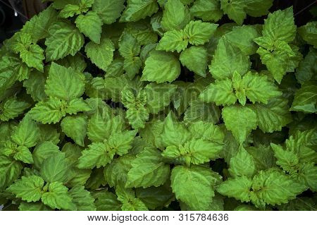 poster of Close up of lush vibrant green Pogostemon cablin patchouli plant eaves wet from rain or dew, medicinal plant used in aromatherapy.