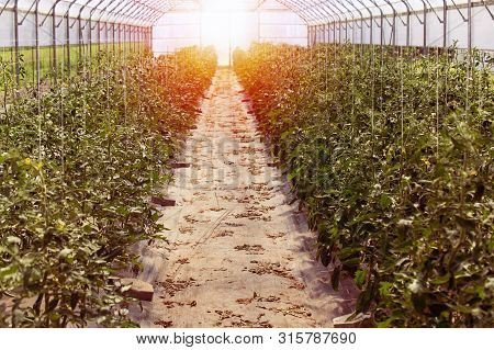 Rows Of Tomato Plants Growing Inside Big Industrial Greenhouse. Industrial Agriculture.
