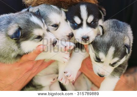 Puppies Siberian Husky. Litter Dogs In The Hands Of The Breeder. Little Puppies