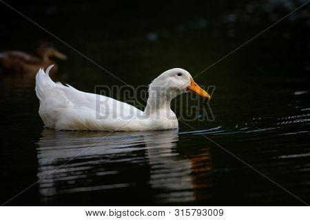 Nice White Goose On Lake Nature Wild Birds Life Rare