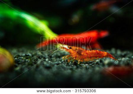 Painted Fire Red Neocaridina Shrimp Aquarium Freshwater Pets Hobby