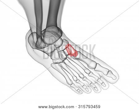 3d rendered medically accurate illustration of the medial cuneiform bone
