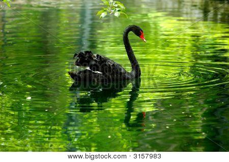 Black Swan In The Pond