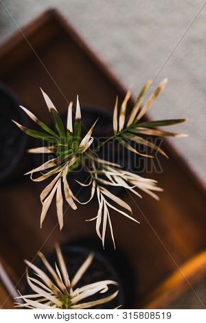Small Parlour Palm Trees With Very Dry Leaves, Taking Care Of Your Home Plants