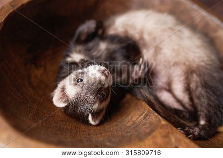 Sable Ferret Posing On Wood Background. Fluffy Ferret Pet Posing In A Studio Setting