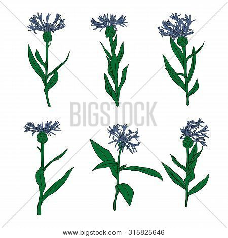 Vector Drawing Cornflowers, Set Of Floral Elements, Hand Drawn Illustration