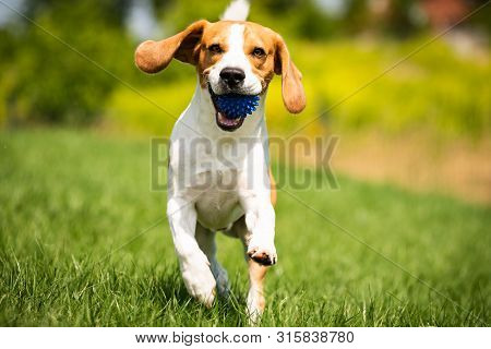 Beagle Dog Runs Through Green Meadow With A Ball. Copy Space Domestic Dog Concept. Dog Fetching Blue